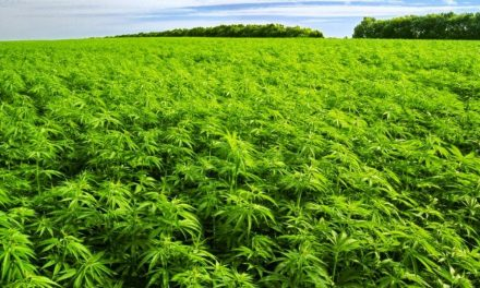 CanaFarma (CSE:CNFA) Doubling Output With New Farm