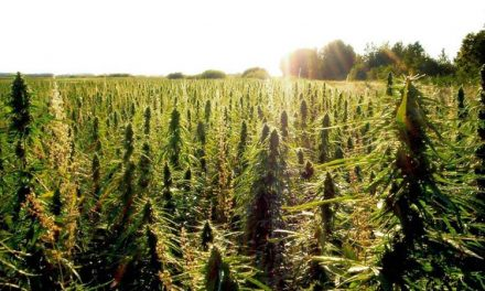 Hemp Production in the U.S. Turns Corner